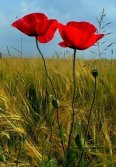 two-poppies
